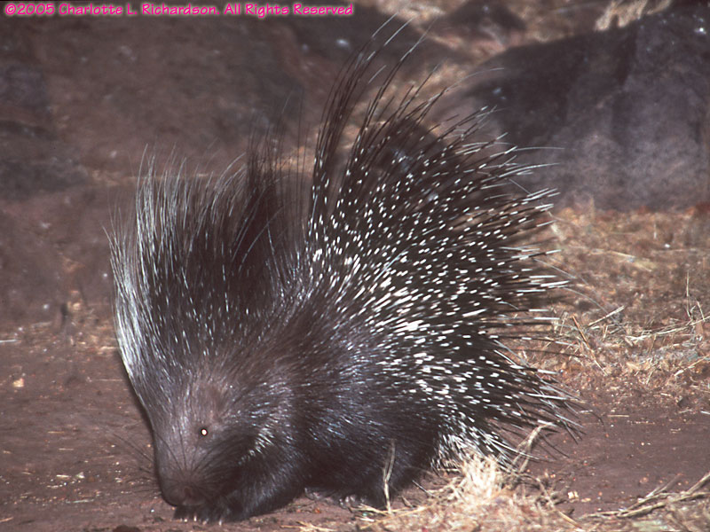 Image of: Wildlife African Porcupine Mermaid Underwater Photographic Nocturnal Animals