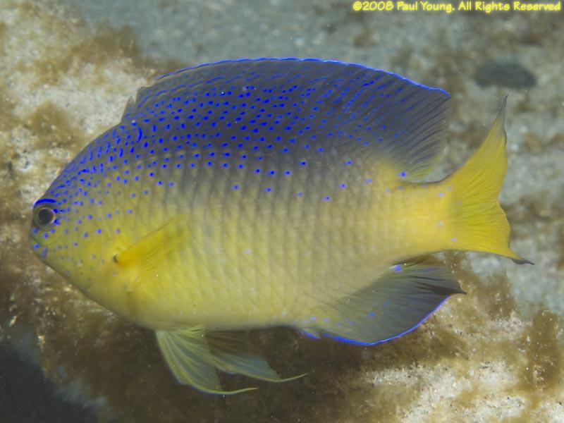 St Croix Damselfish