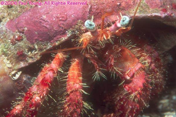 St. Vincent hermit crabs