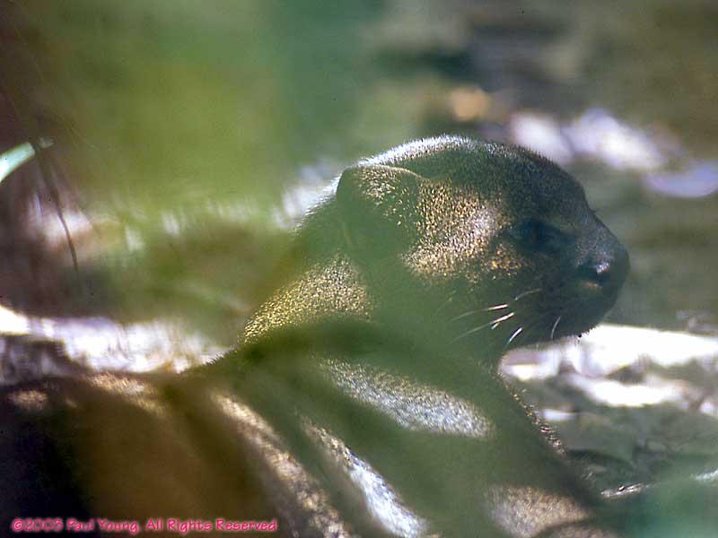 all you wanted to jaguarundi facts Bigcats animalpostcards wnet nature