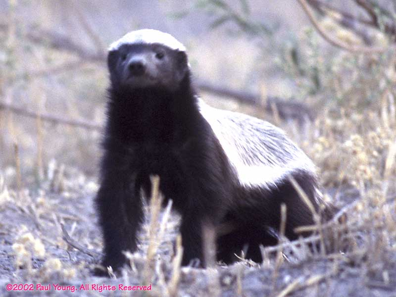 funny honey badger pictures. Cute honey badger