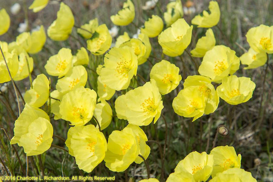 North slope tundra flowers flowers alaska poppies flowers alaska poppies mightylinksfo