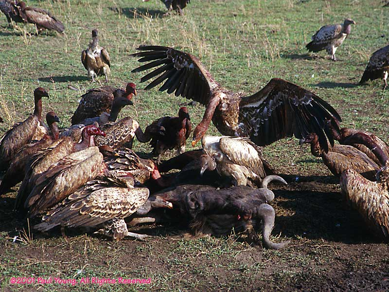 To Kill Vultures